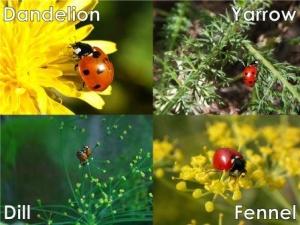 Ladybug host plants: Dandelion, Yarrow, Fennel, Dill