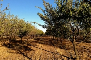Almond trees with bare soil in California