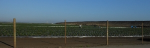 A large strawberry field with workers