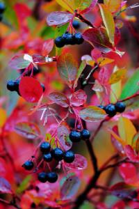 Aronia chokeberry fall fruit