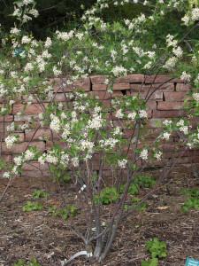Aronia chokecherry in bloom