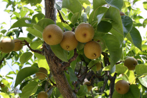 Asian Pears on tree