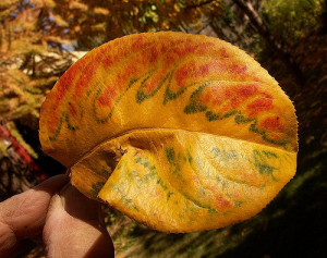 Asian Pear Leaf in fall