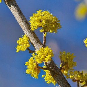 Bright yellow blossoms of Cornelian Cherry