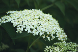 White Elderberry Flowers