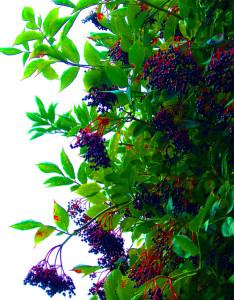 Black Elderberry with berries