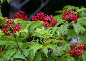Red Elderberry Fruit