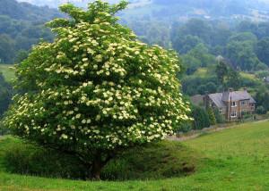Elderberry shrub with tree habit in bloom