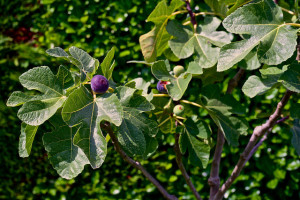 Fig tree foliage and fruit