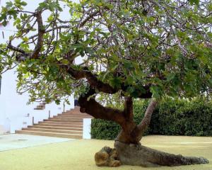 Fig tree in landscape
