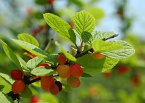Nanking cherries on bush