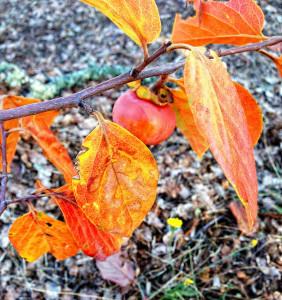 Persimmon leaves in autumn