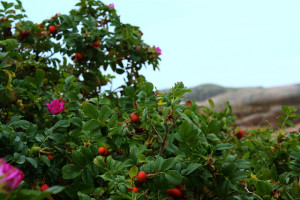 Rosebush with rose hips