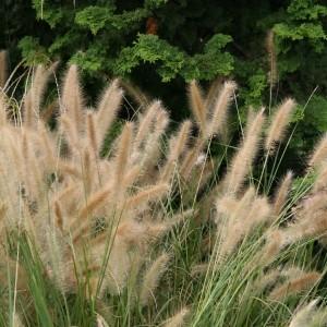 Panicum virgatum Shenandoah