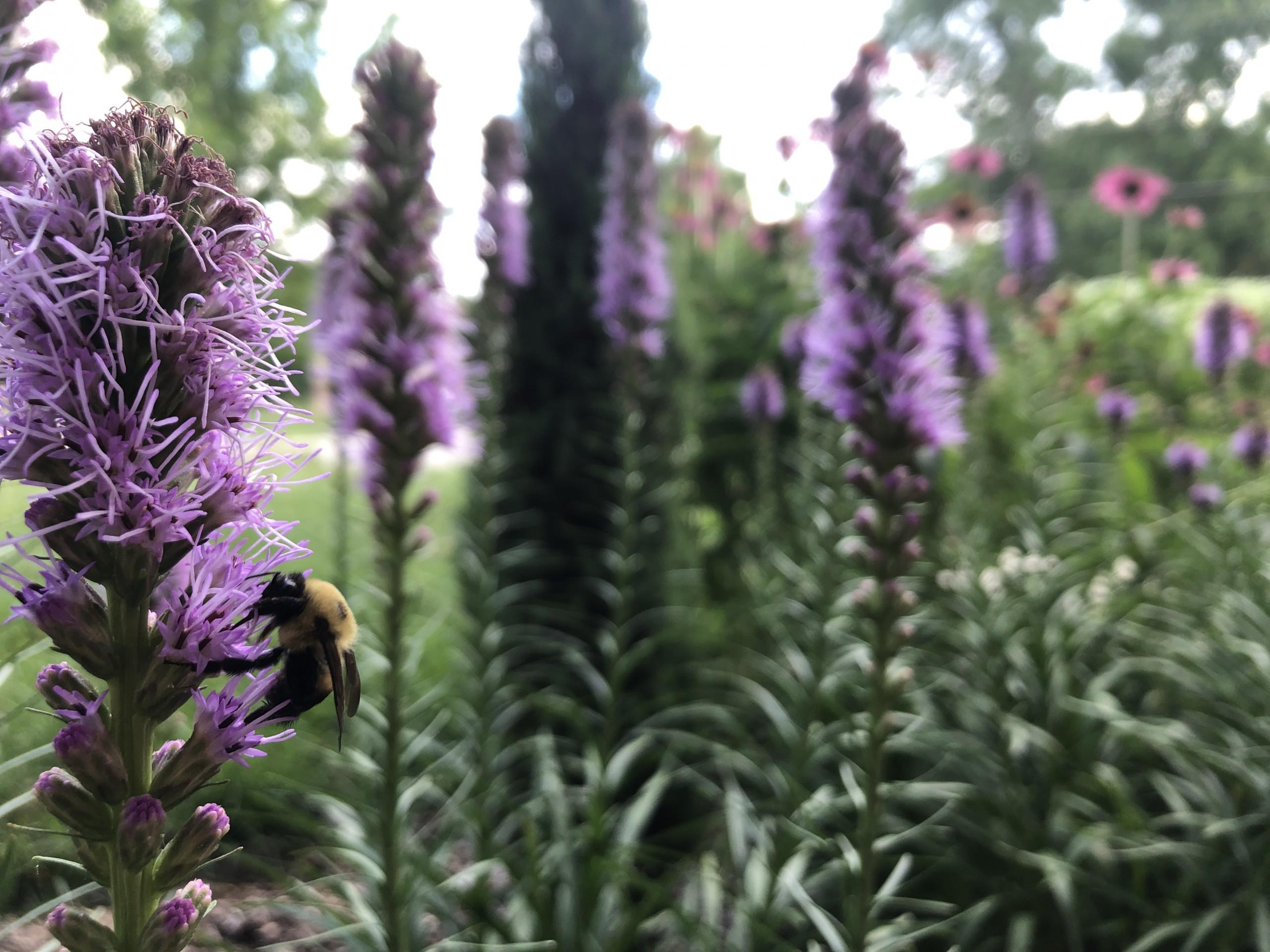 Native pollinator garden