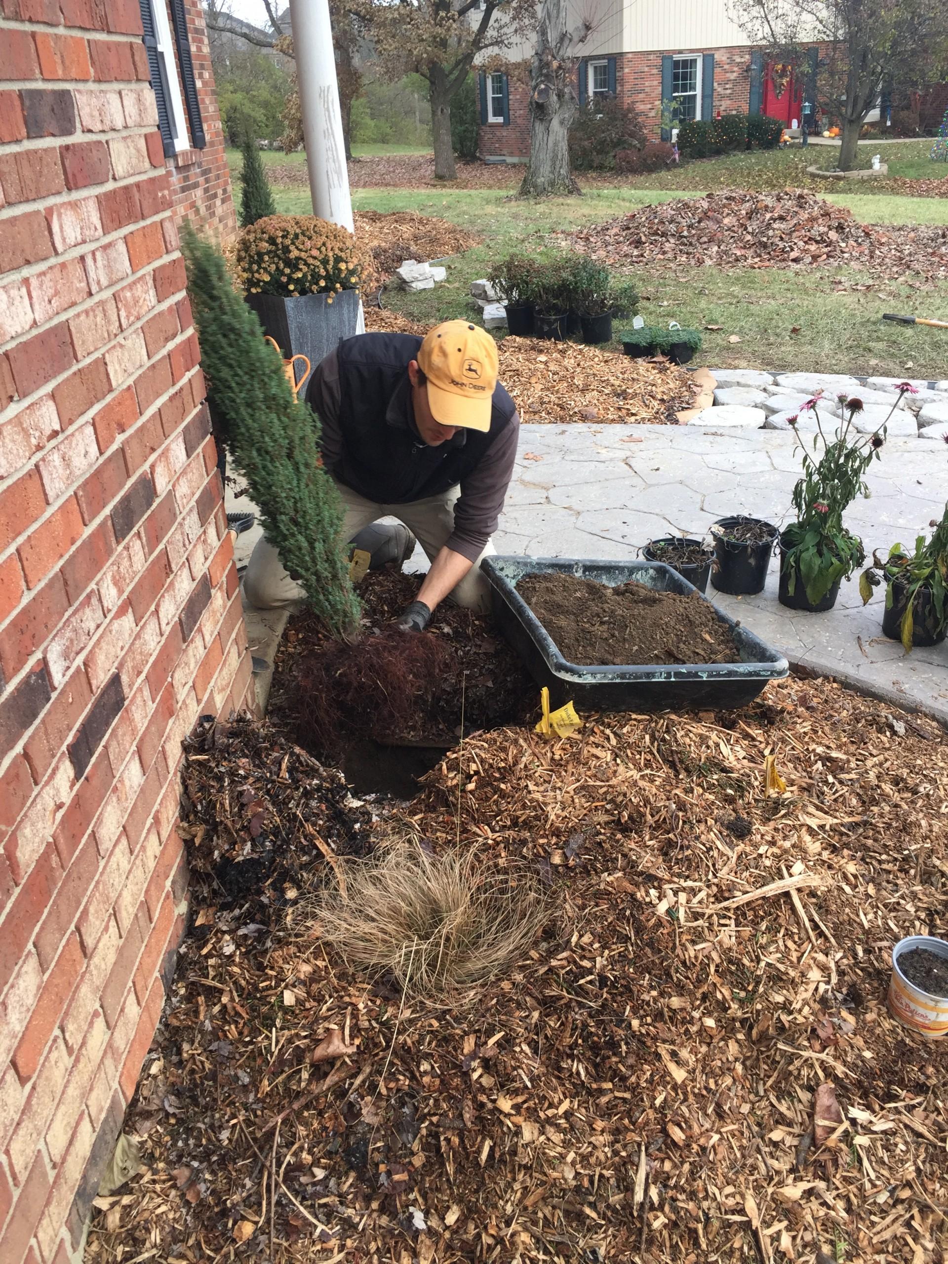 Planting native juniper 'compressa'