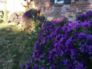 Native Landscaping - Aster fall color
