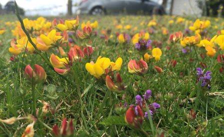 Flower lawn alternative