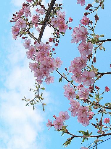 Aronia chokeberry flowers