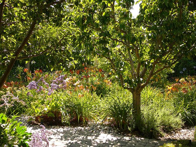 Asian pear tree in garden